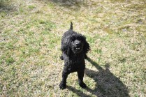Razzie-Poodle-Banksia Park Puppies - 7 of 34