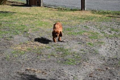 Roza-Cavalier-Banksia Park Puppies - 18 of 47