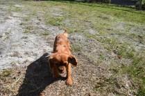 Roza-Cavalier-Banksia Park Puppies - 22 of 47