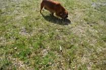 Roza-Cavalier-Banksia Park Puppies - 26 of 47