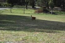 Roza-Cavalier-Banksia Park Puppies - 28 of 47