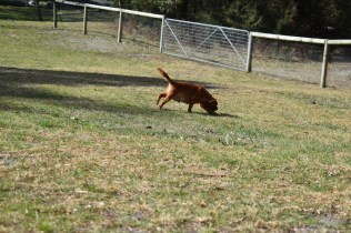 Roza-Cavalier-Banksia Park Puppies - 30 of 47