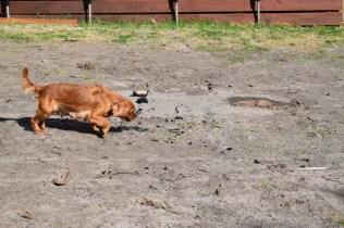 Roza-Cavalier-Banksia Park Puppies - 31 of 47