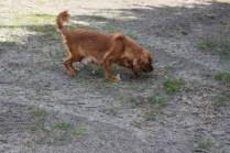 Roza-Cavalier-Banksia Park Puppies - 33 of 47