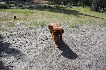 Roza-Cavalier-Banksia Park Puppies - 44 of 47