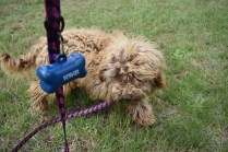 Bling-Poodle-7510-Banksia Park Puppies - 34 of 100