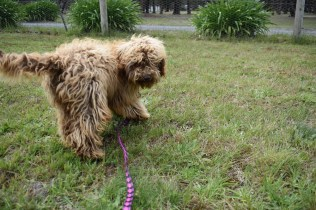 Bling-Poodle-7510-Banksia Park Puppies - 38 of 100