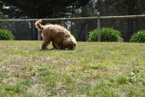 Bling-Poodle-7510-Banksia Park Puppies - 72 of 100