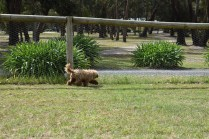 Bling-Poodle-7510-Banksia Park Puppies - 93 of 100