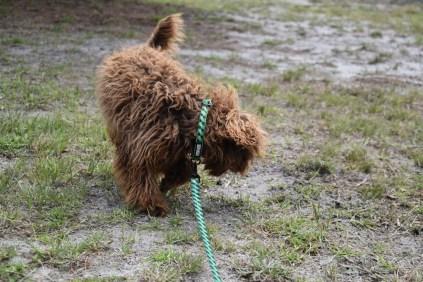 Bobbles-Poodle-6419-Banksia Park Puppies - 10 of 76