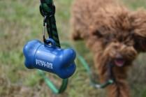 Bobbles-Poodle-6419-Banksia Park Puppies - 25 of 76