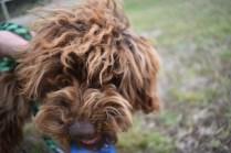 Bobbles-Poodle-6419-Banksia Park Puppies - 51 of 76