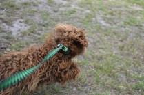 Bobbles-Poodle-6419-Banksia Park Puppies - 9 of 76