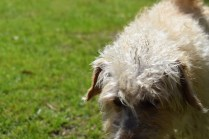 Snedley-Schnoodle-Banksia Park Puppies - 25 of 62