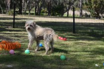 Snedley-Schnoodle-Banksia Park Puppies - 3 of 62
