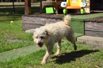 Snedley-Schnoodle-Banksia Park Puppies - 34 of 62