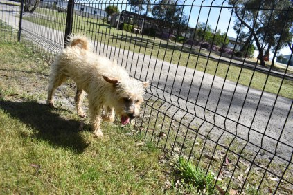 Snedley-Schnoodle-Banksia Park Puppies - 45 of 62