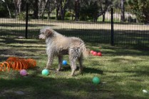 Snedley-Schnoodle-Banksia Park Puppies - 5 of 62