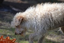 Snedley-Schnoodle-Banksia Park Puppies - 51 of 62