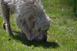 Snedley-Schnoodle-Banksia Park Puppies - 54 of 62