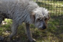 Snedley-Schnoodle-Banksia Park Puppies - 7 of 62