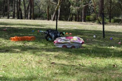 Shorty-Cocker Spaniel-Banksia Park Puppies - 1 of 37