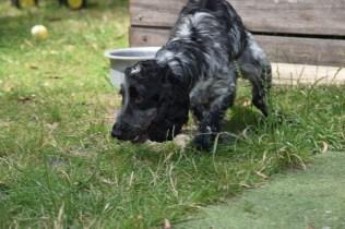 Shorty-Cocker Spaniel-Banksia Park Puppies - 10 of 37