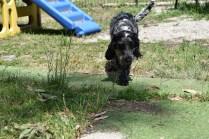 Shorty-Cocker Spaniel-Banksia Park Puppies - 14 of 37