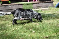 Shorty-Cocker Spaniel-Banksia Park Puppies - 16 of 37
