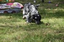 Shorty-Cocker Spaniel-Banksia Park Puppies - 8 of 37