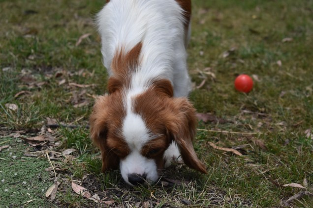 Dani-Cavalier-Banksia Park Puppies - 37 of 37