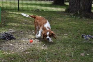 Dede-Cavalier-Banksia Park Puppies - 12 of 51