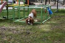 Dede-Cavalier-Banksia Park Puppies - 20 of 51