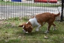 Dede-Cavalier-Banksia Park Puppies - 24 of 51