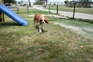 Dede-Cavalier-Banksia Park Puppies - 32 of 51