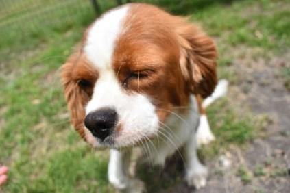 Dede-Cavalier-Banksia Park Puppies - 40 of 51