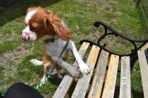 Dede-Cavalier-Banksia Park Puppies - 5 of 51