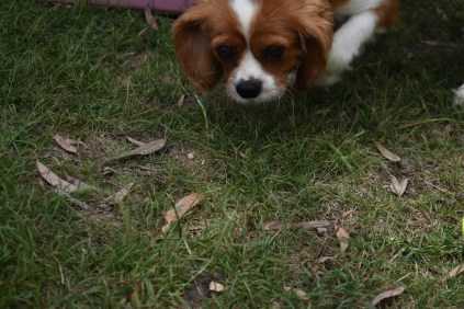 Dodi-Cavalier-Banksia Park Puppies - 12 of 23