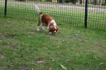 Dodi-Cavalier-Banksia Park Puppies - 4 of 23
