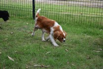 Dodi-Cavalier-Banksia Park Puppies - 5 of 23