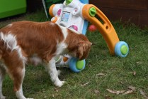 Dodi-Cavalier-Banksia Park Puppies - 6 of 23