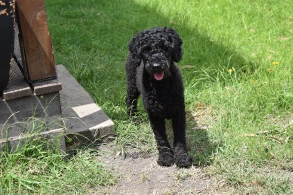 Poppie-Poodle-Banksia Park Puppies - 20 of 29