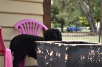 Poppie-Poodle-Banksia Park Puppies - 25 of 29