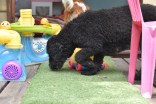Poppie-Poodle-Banksia Park Puppies - 28 of 29