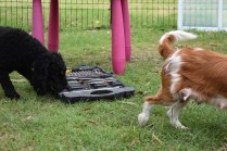 Poppie-Poodle-Banksia Park Puppies - 7 of 29