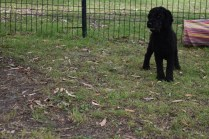 Poppie-Poodle-Banksia Park Puppies - 8 of 29