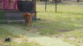 Rosebud-Cavalier-Banksia Park Puppies - 14 of 16