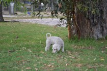 BeeBee-Moodle-Banksia Park Puppies - 15 of 33