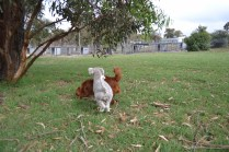 BeeBee-Moodle-Banksia Park Puppies - 18 of 33