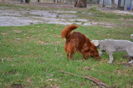 BeeBee-Moodle-Banksia Park Puppies - 23 of 33